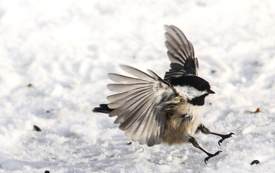 Chickadee coming in hot