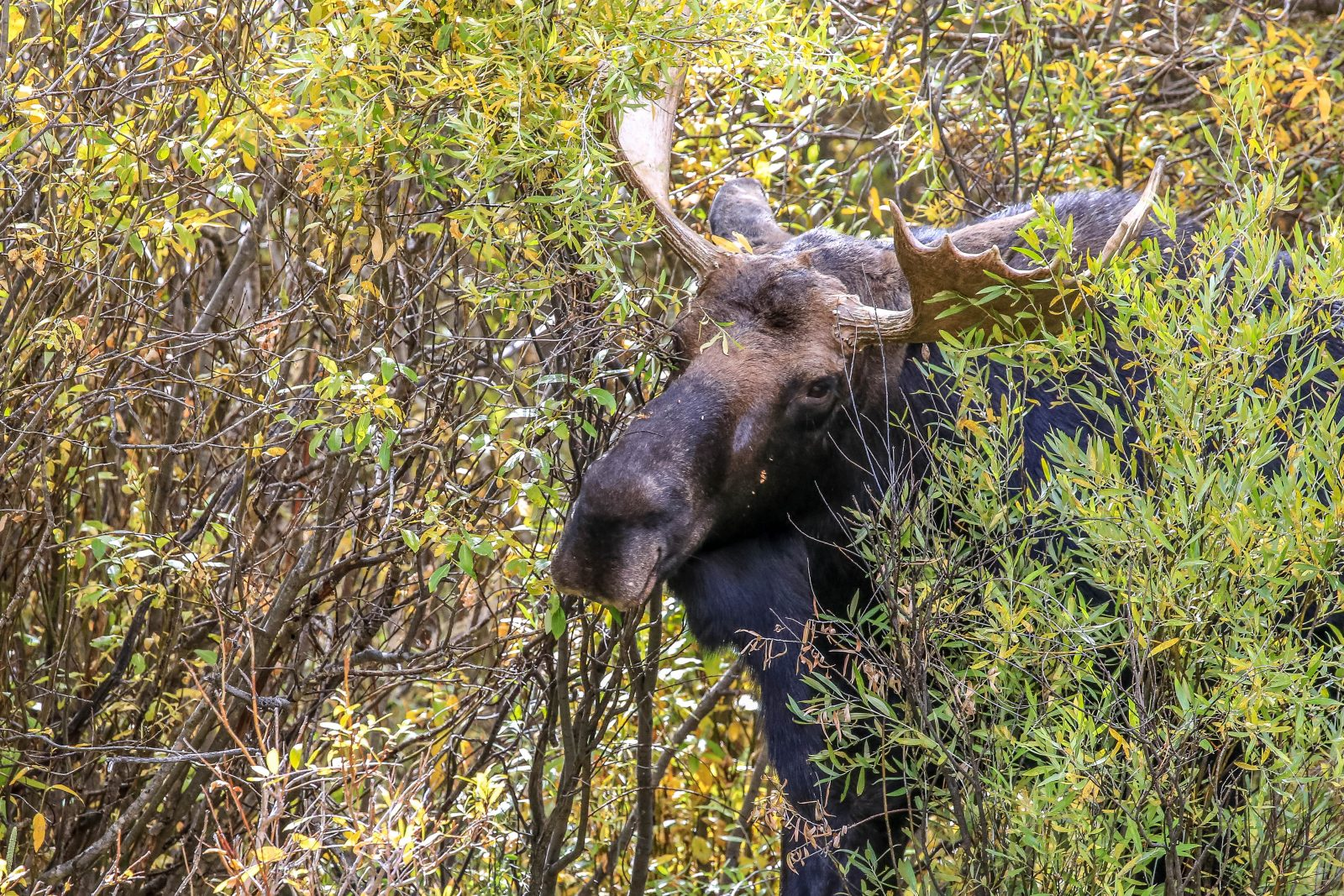 Coal Creek Moose