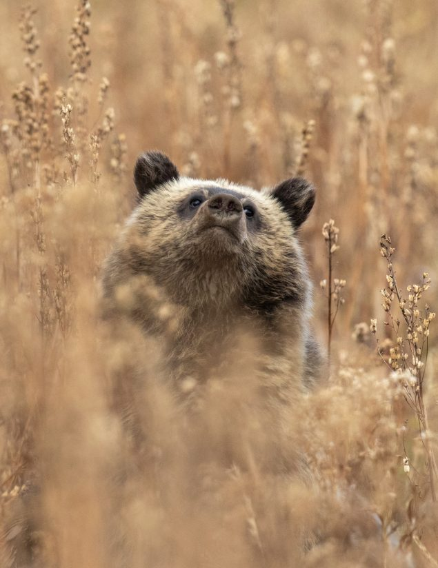 Hidden Grizzly