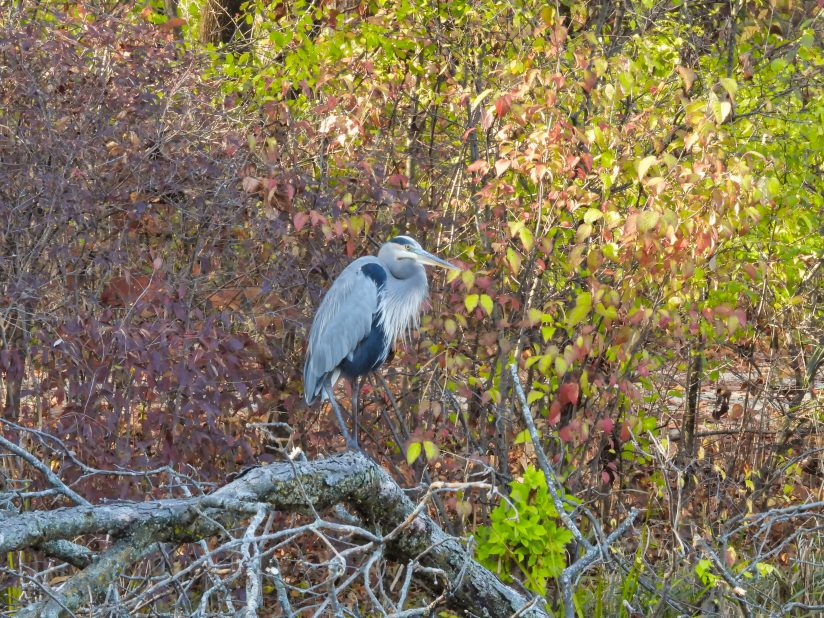Great Blue Heron Bird Perched on a Fallen Tree on Lake Shore with Fall Colored Leaves in Background on a Beautiful October Autumn Day