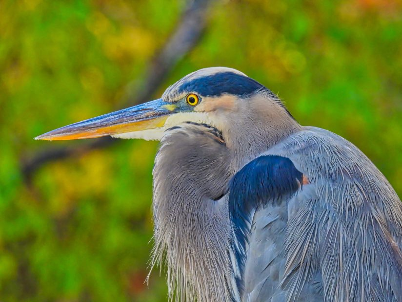 Great blue heron closeup: Blue heron bird with its neck tucked into its breast in closeup view on an autumn day with fall colors in the background