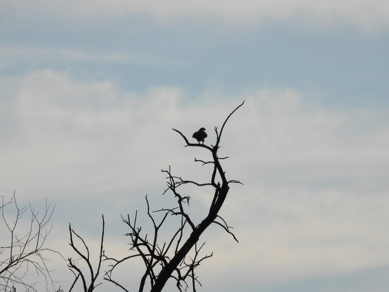 Hawk silhouetted in a tree: Red-tailed hawk bird of prey raptor silhouetted as it is perched in a bare tree on a late autumn day with a blue cloudy sky in the background