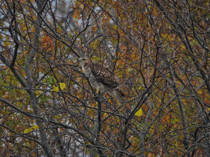 Hawk in a tree: Red-tailed hawk bird of prey raptor is perched in a tree with a few autumn colored leaves but otherwise mostly bare on a late fall day in scenic wildlife view