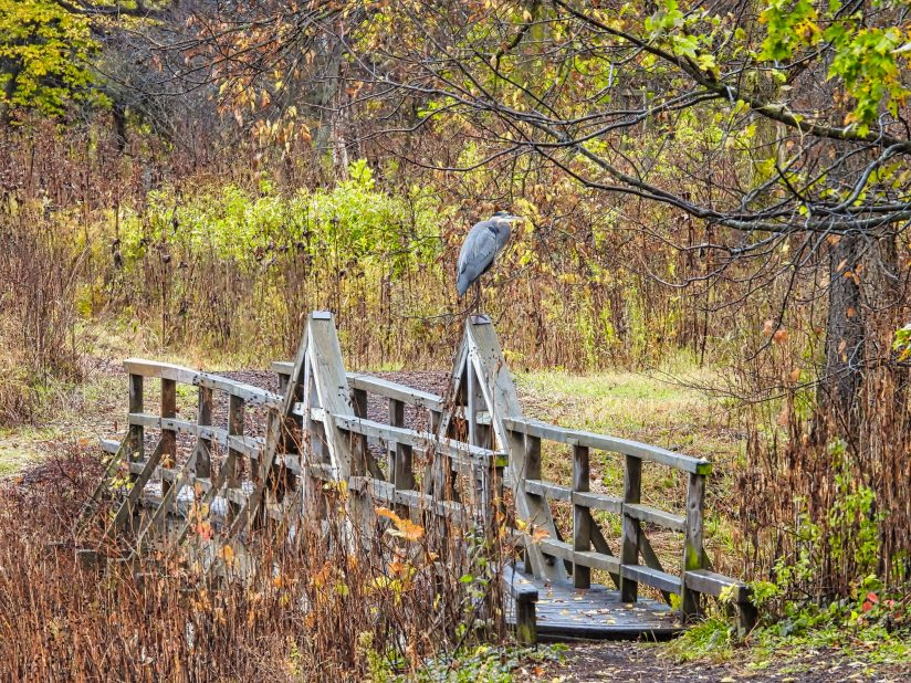 Blue heron on bridge in the woods: A blue heron bird perched on a wooden bridge over a river in midst of a forest on a fall day with autumn colored leaves surrounding