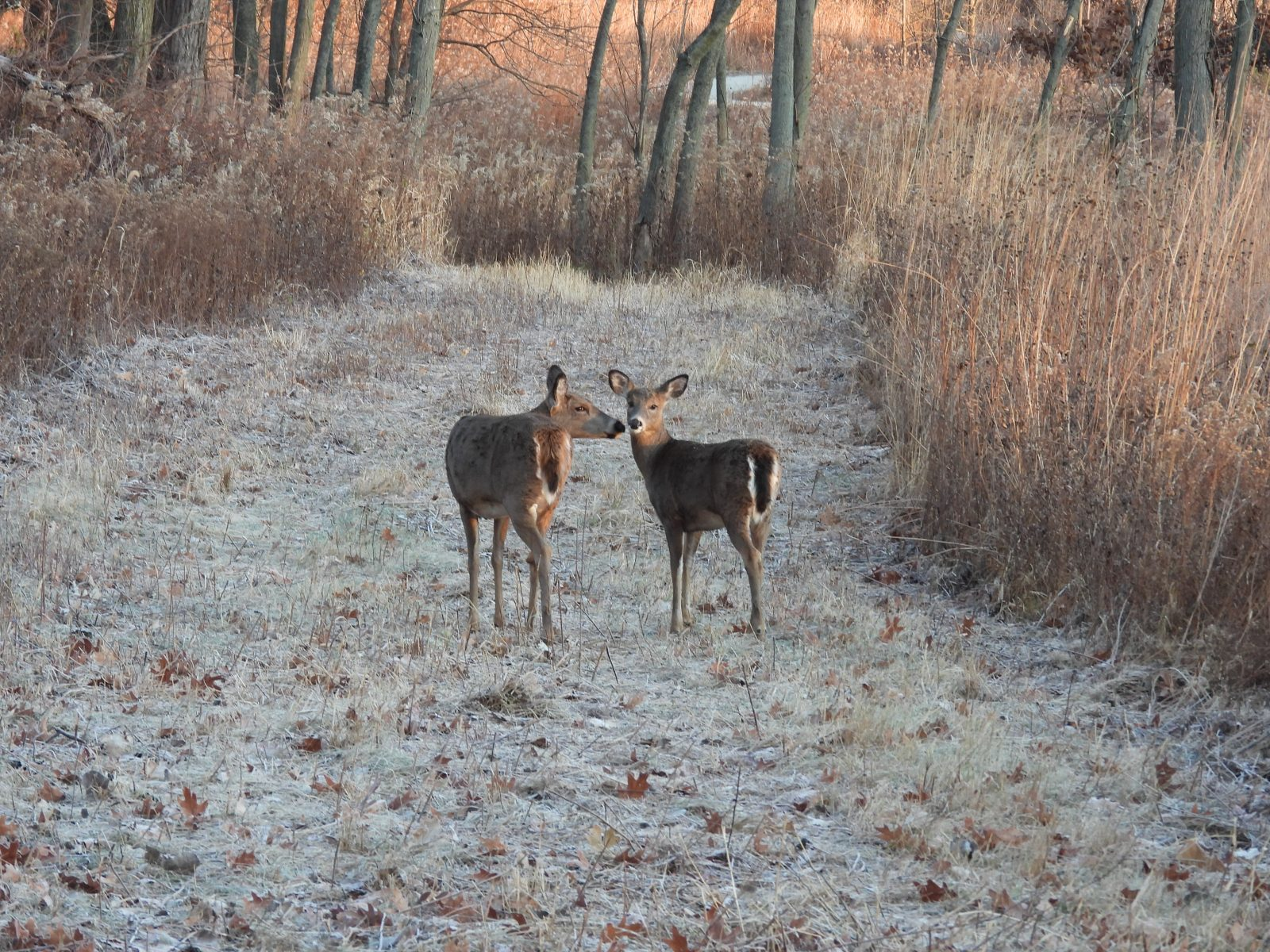 White deer in the woods: A white-tailed deer doe sniffs another doe in a touching moment as they walk a mowed path filled with frost in a small clearing in the forest on late autumn morning at sunrise