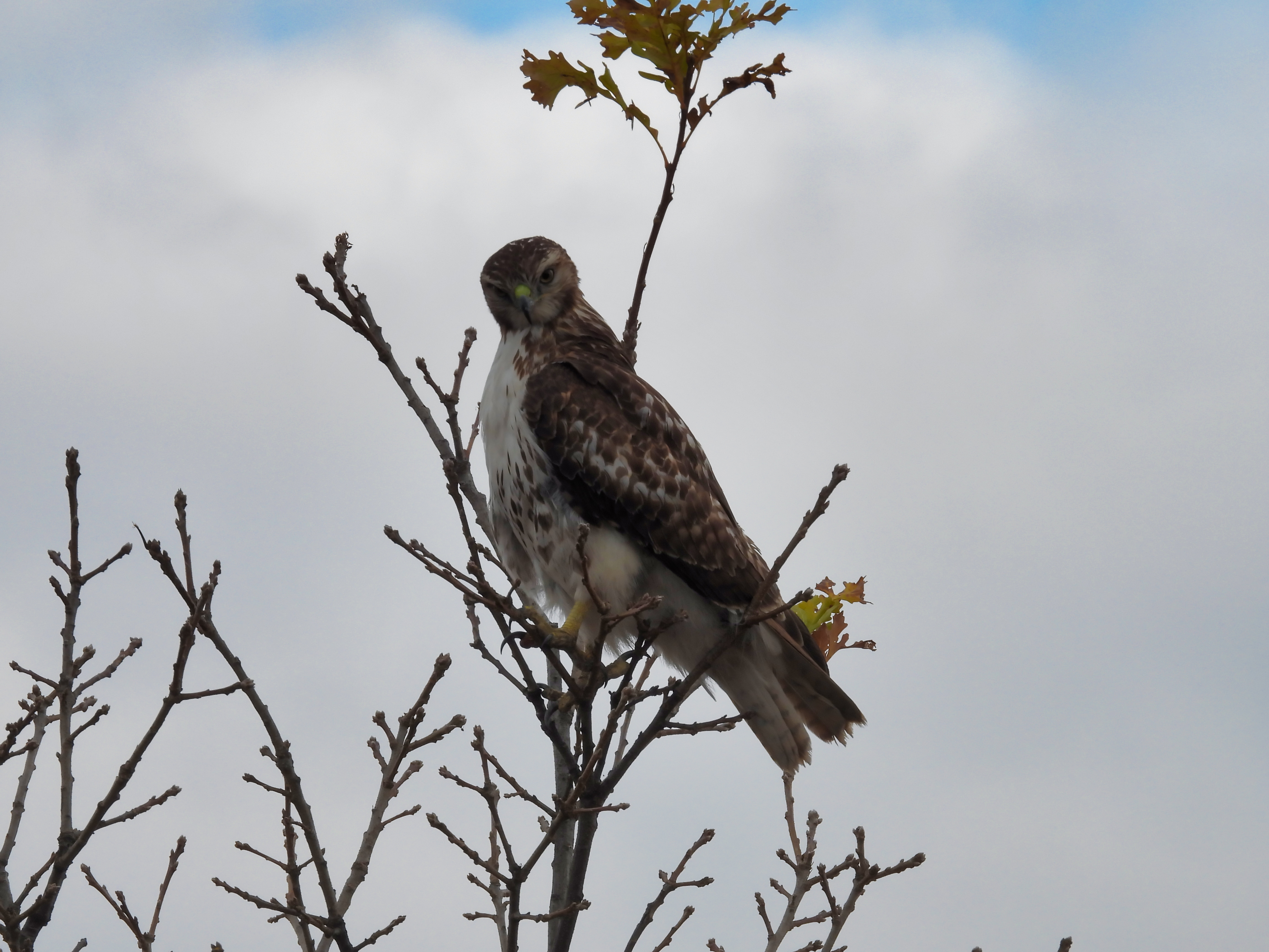 A Red-Tailed Hawk Bird of Prey Perched at Top of Tree Looking Forward with Clouds and a Spot of Bright Blue Sky and Autumn Colored Leaves on Tree Top
