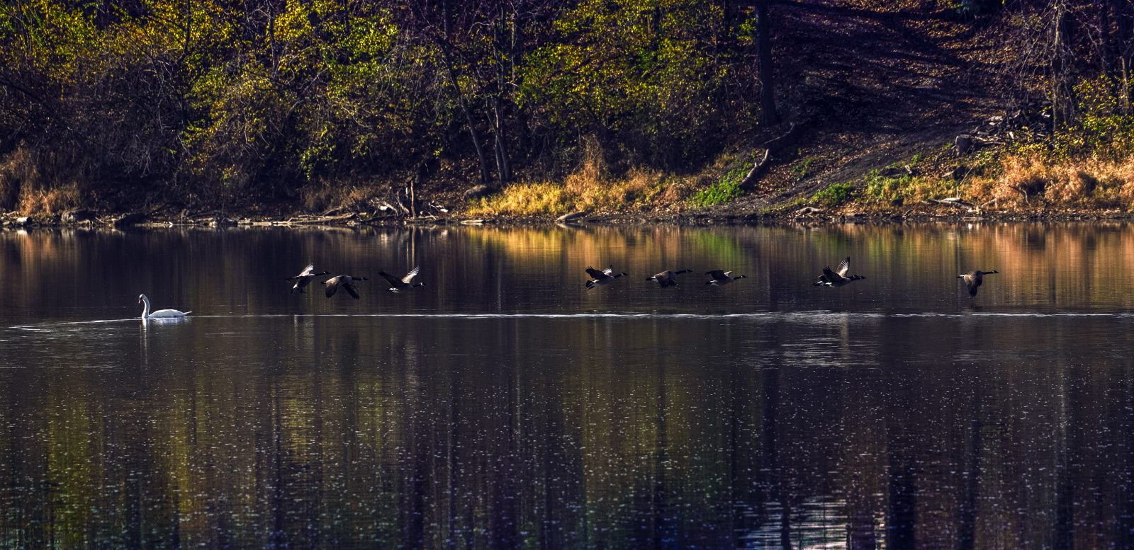 Swan and Canada Geese Inline