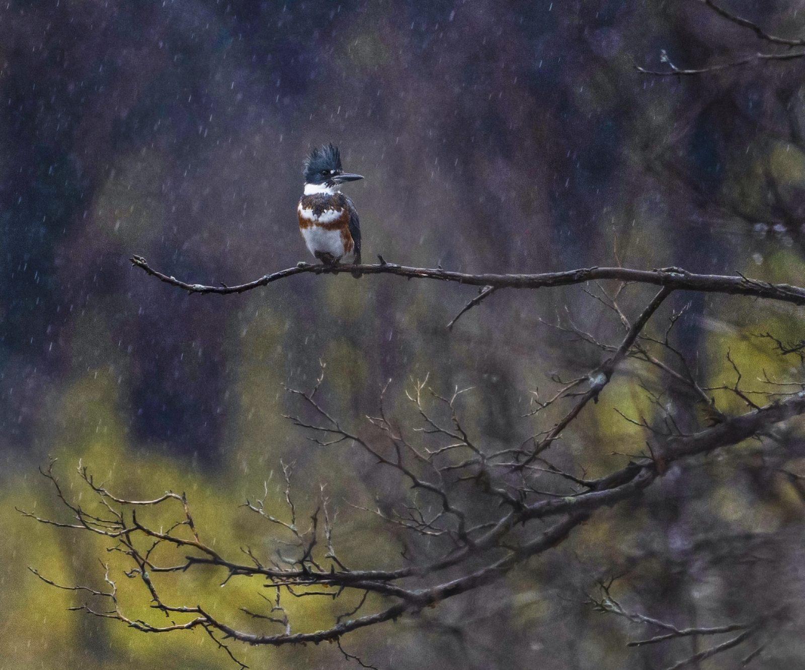 Belted Kingfisher in the Fall Leaves