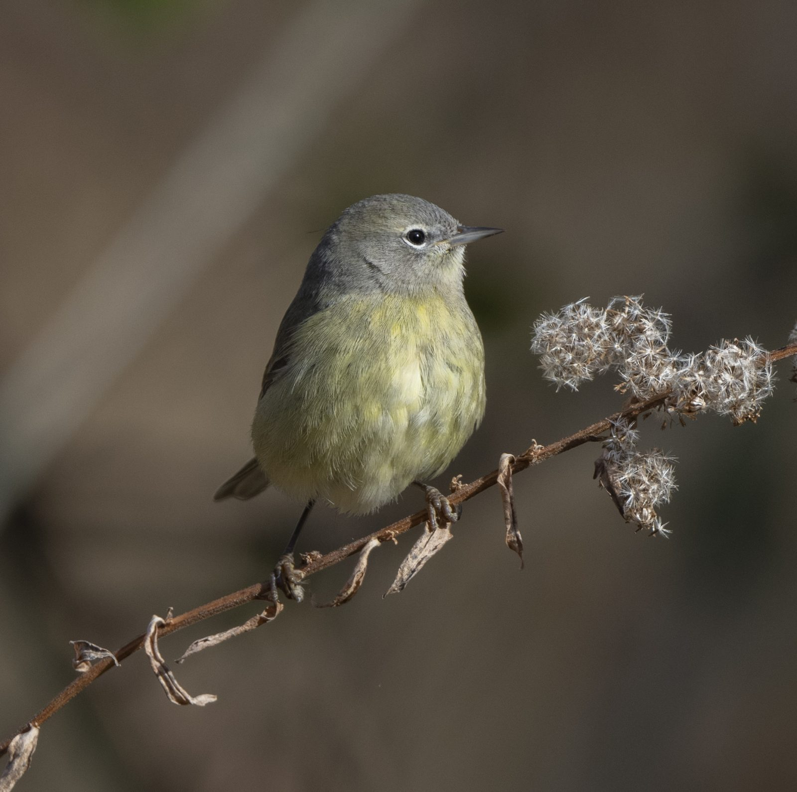 Immature Orange-Crowned Warbler