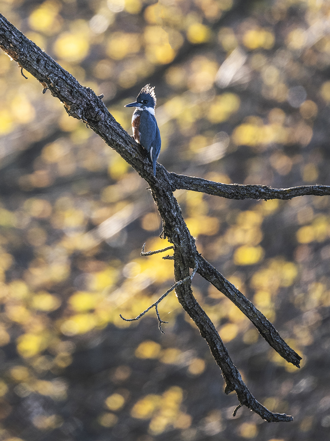 Belted Kingfisher in October