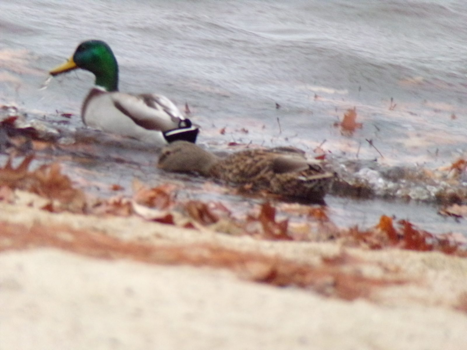 Ducks on beach shore