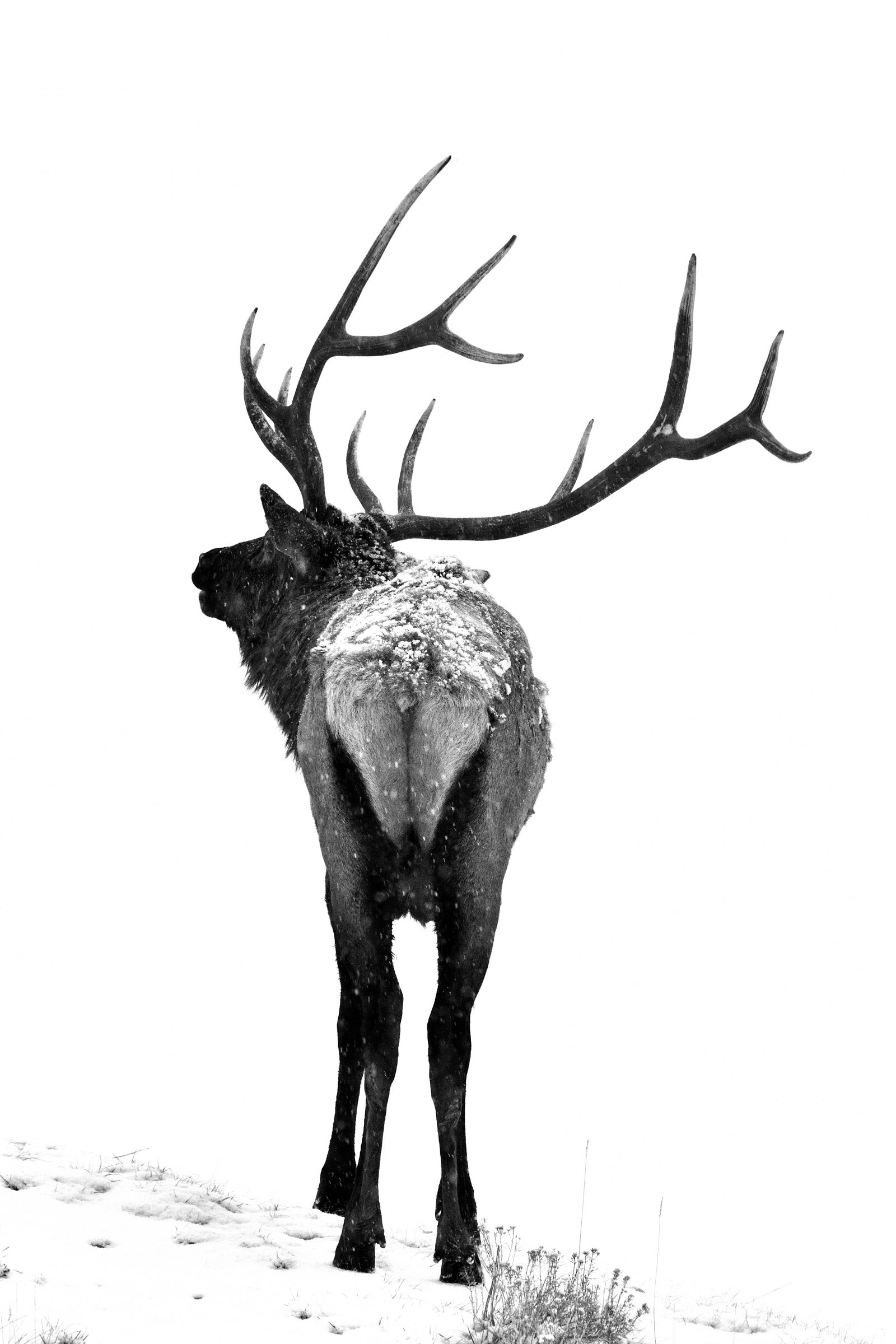 High Key Bull Elk