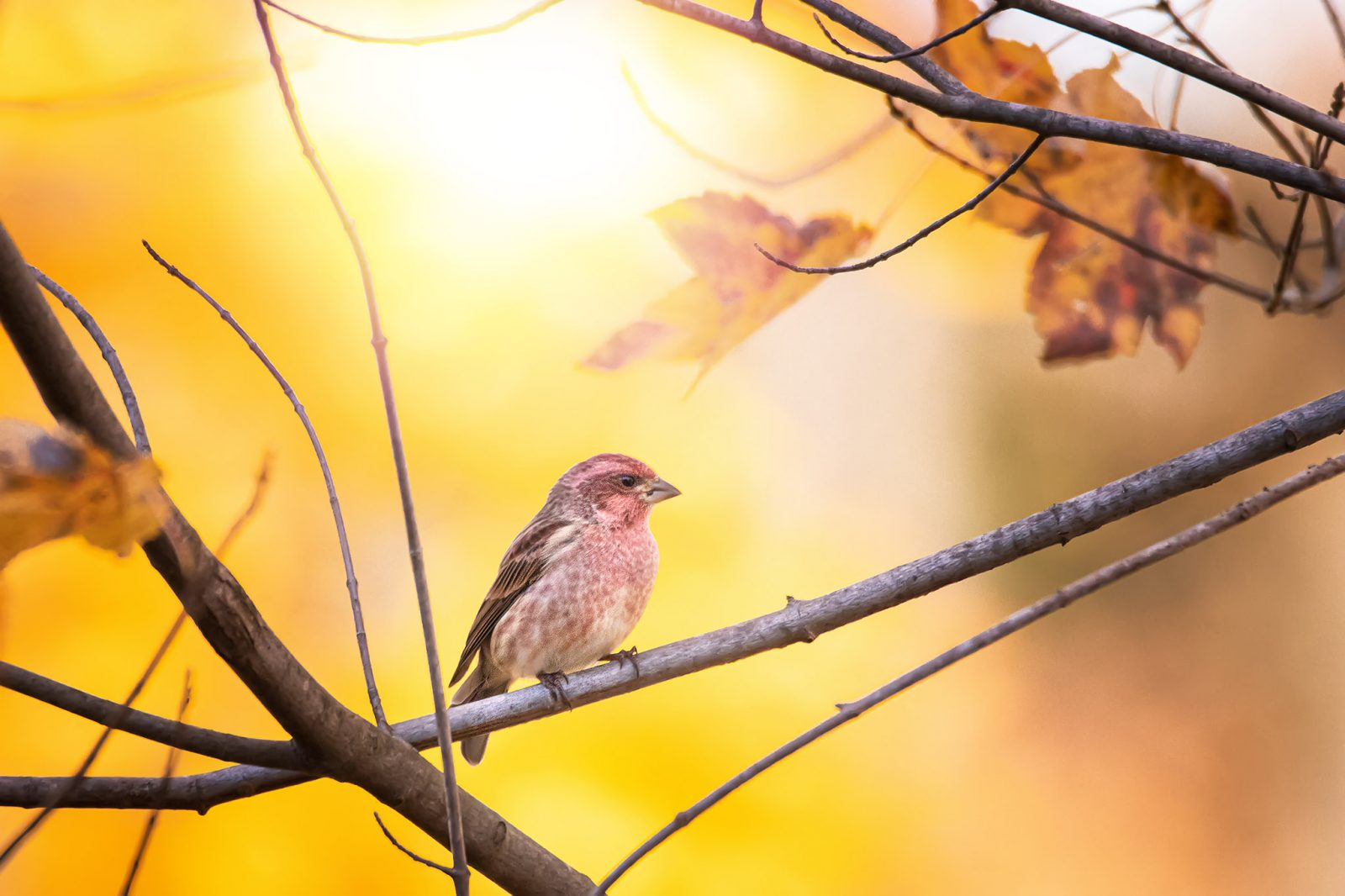 Purple Finch and Yellow