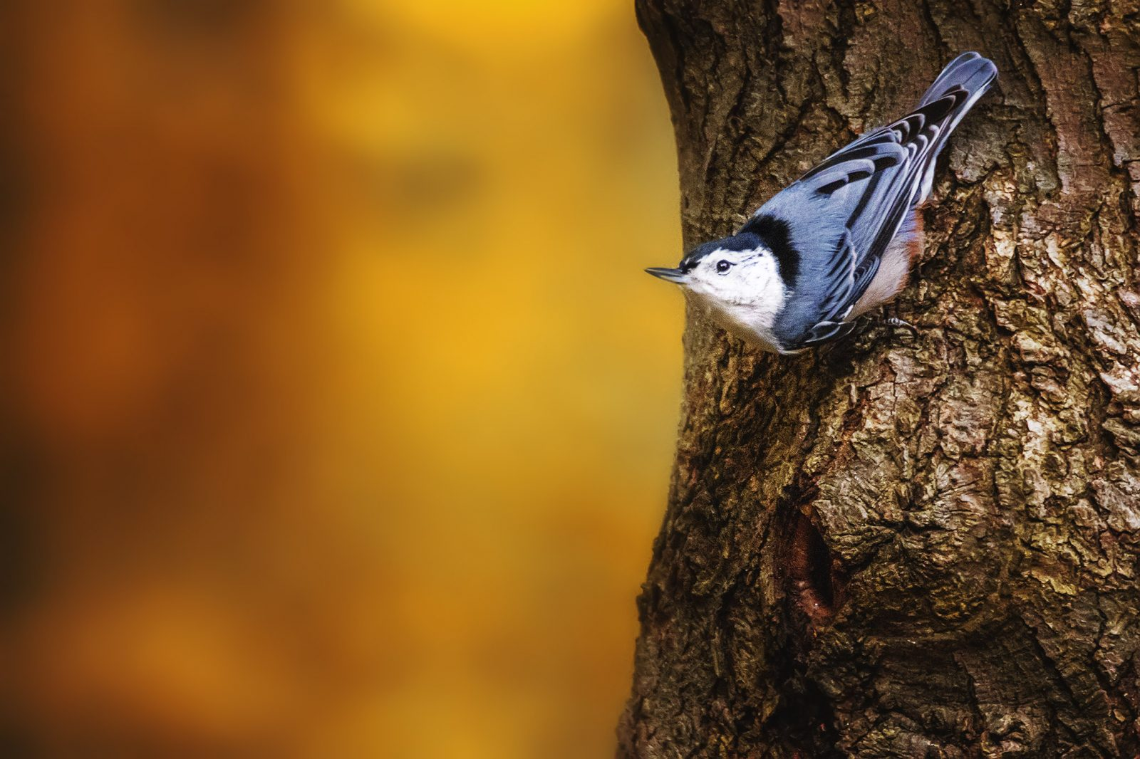 Nuthatch Fall