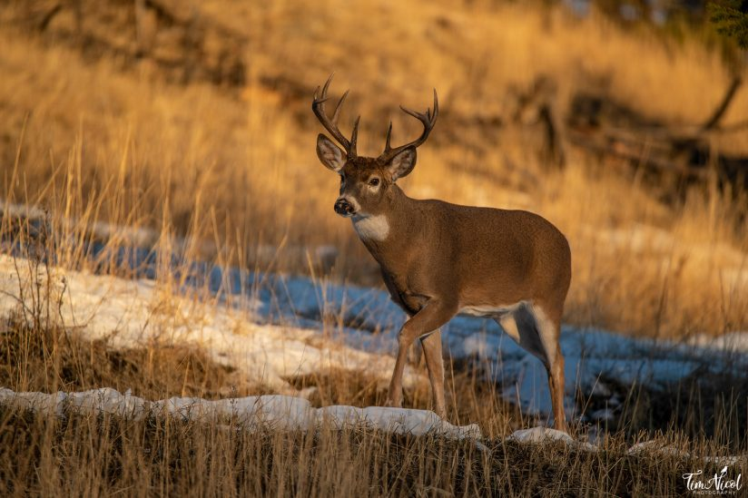 Whitetail in the Golden Hour