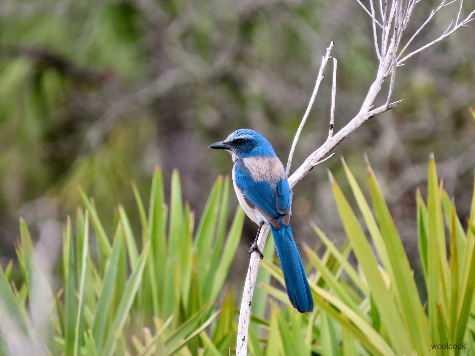 Finally, the Scrub Jay!