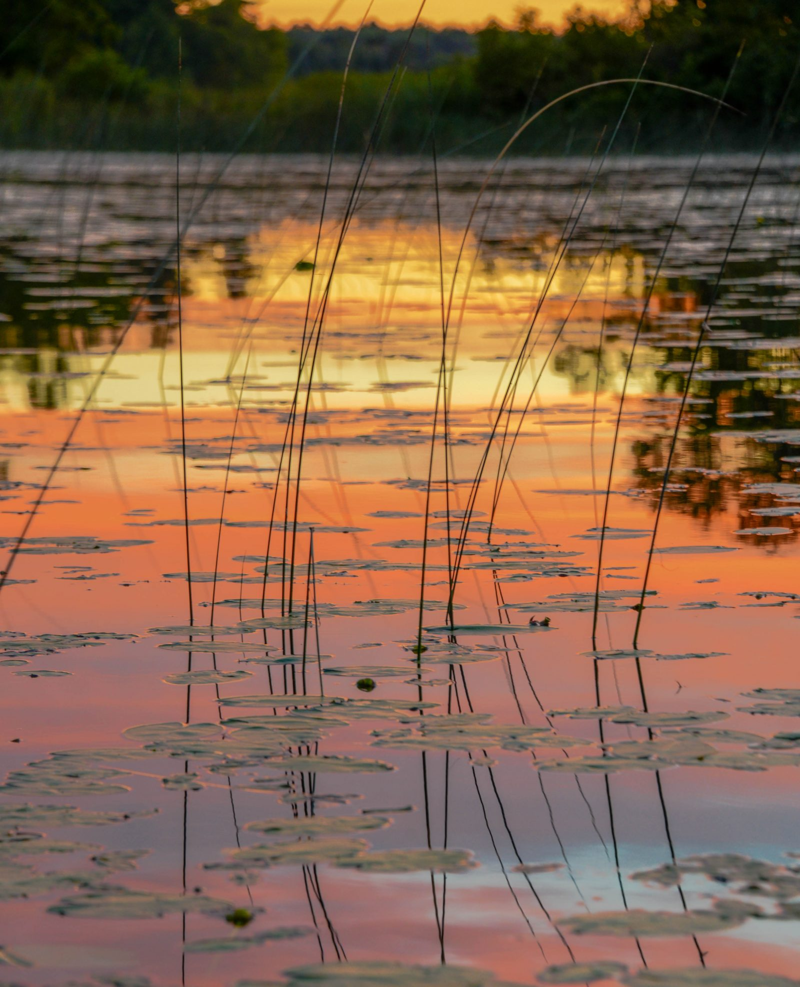 Lily Pads at Sunset