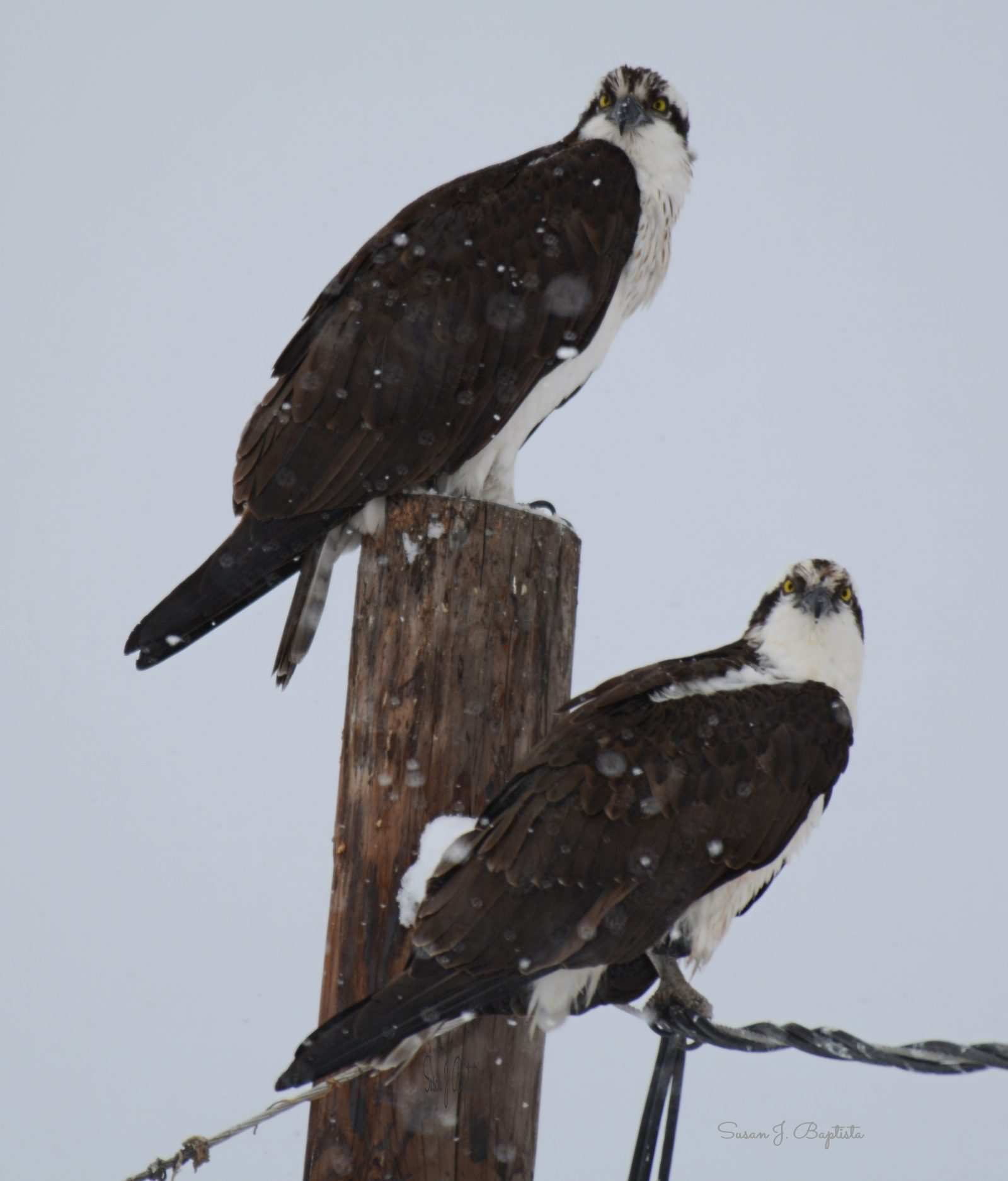 Osprey Pair In The Snow