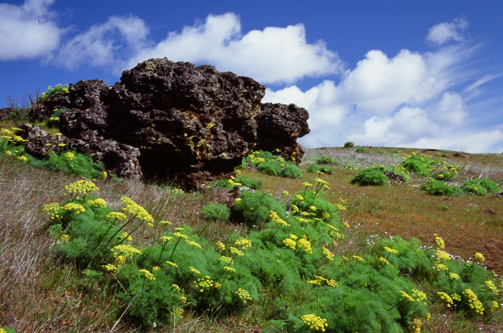Lomatium and Columbia River basalt