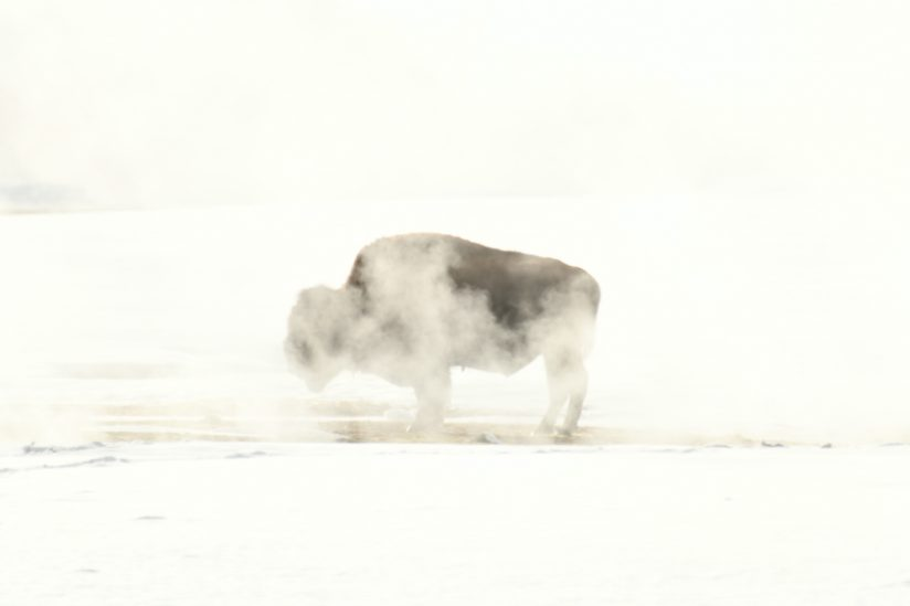 Bison and the geyser
