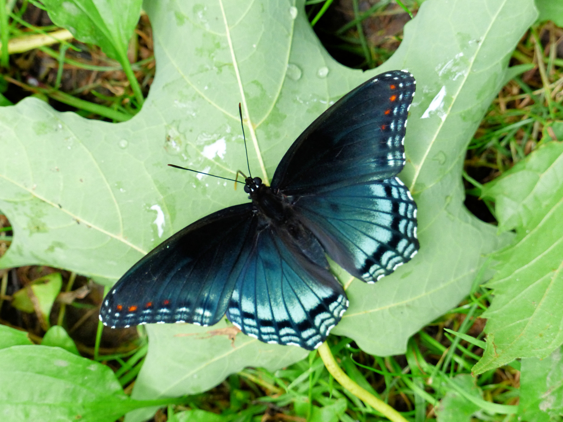 Red-spotted blue butterfly