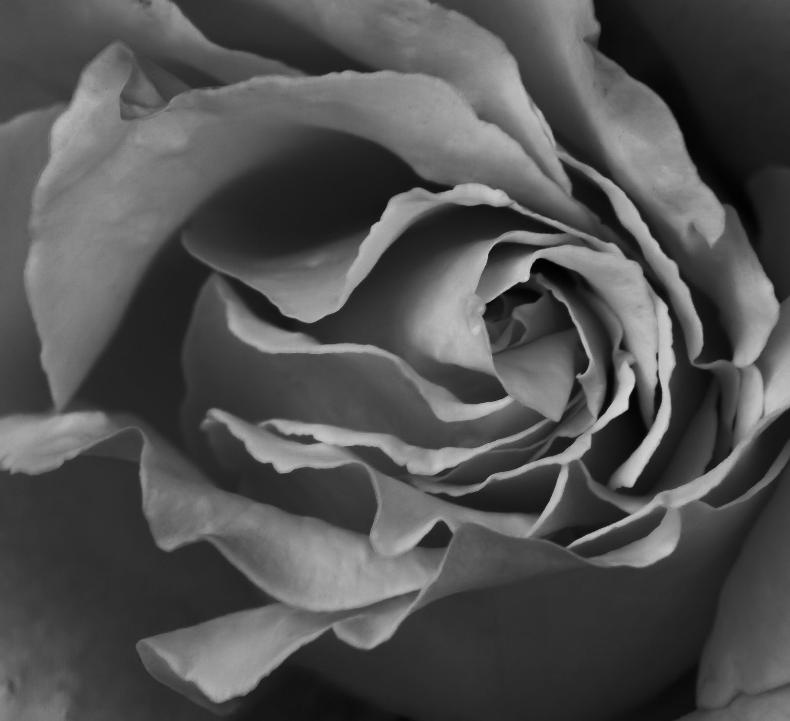 Unfolding Rose in Black and White