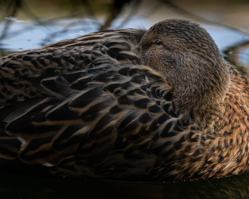 Lady Mallard Napping