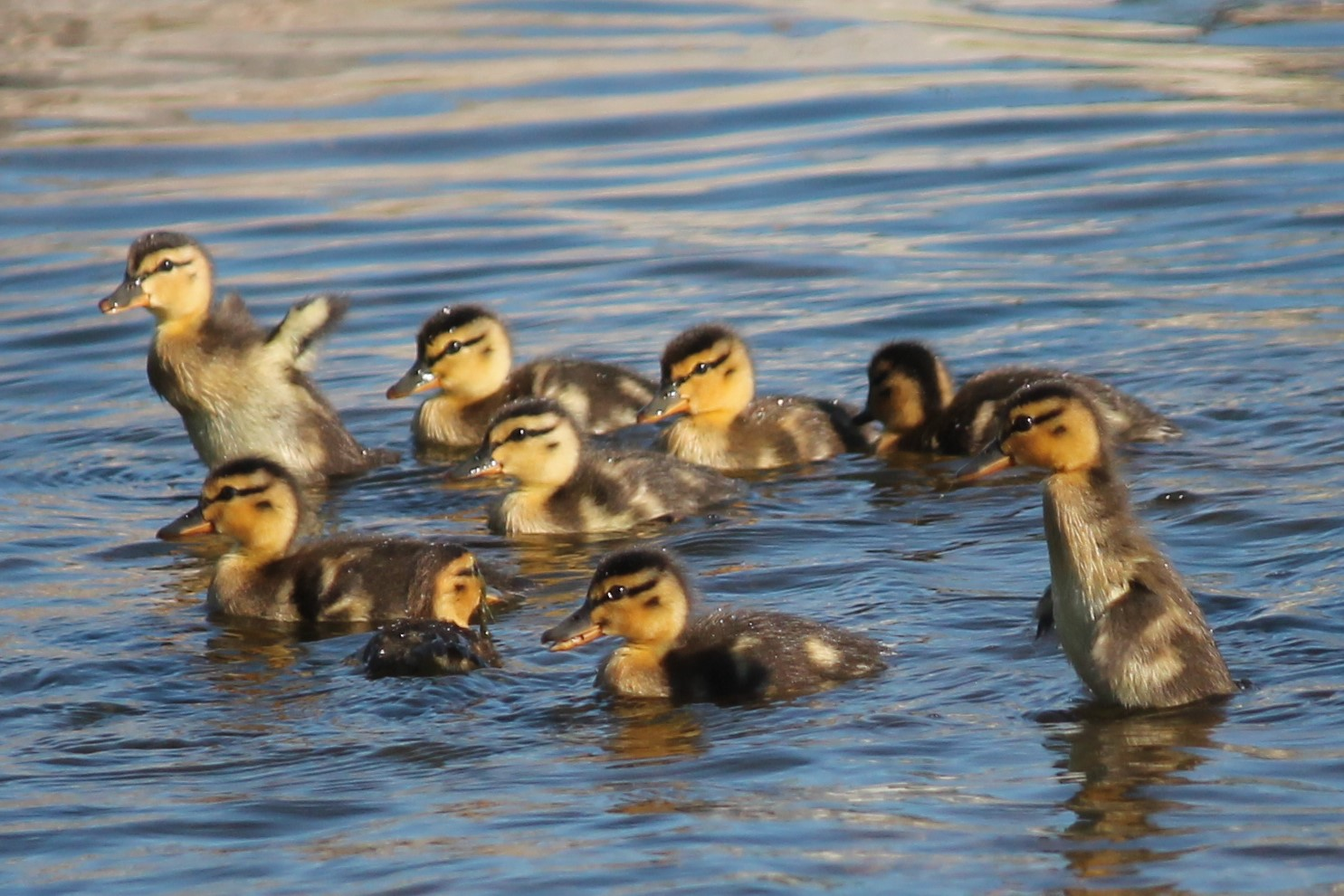 9 ducklings