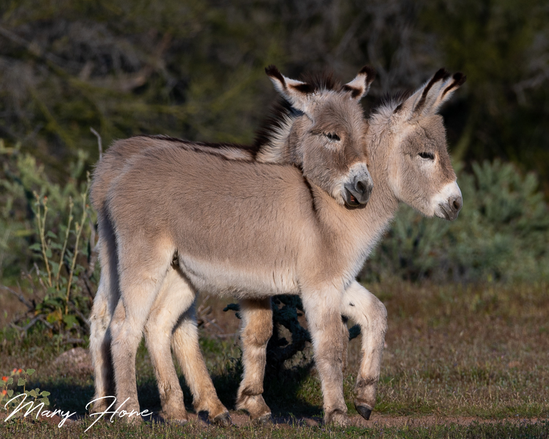 Young burros