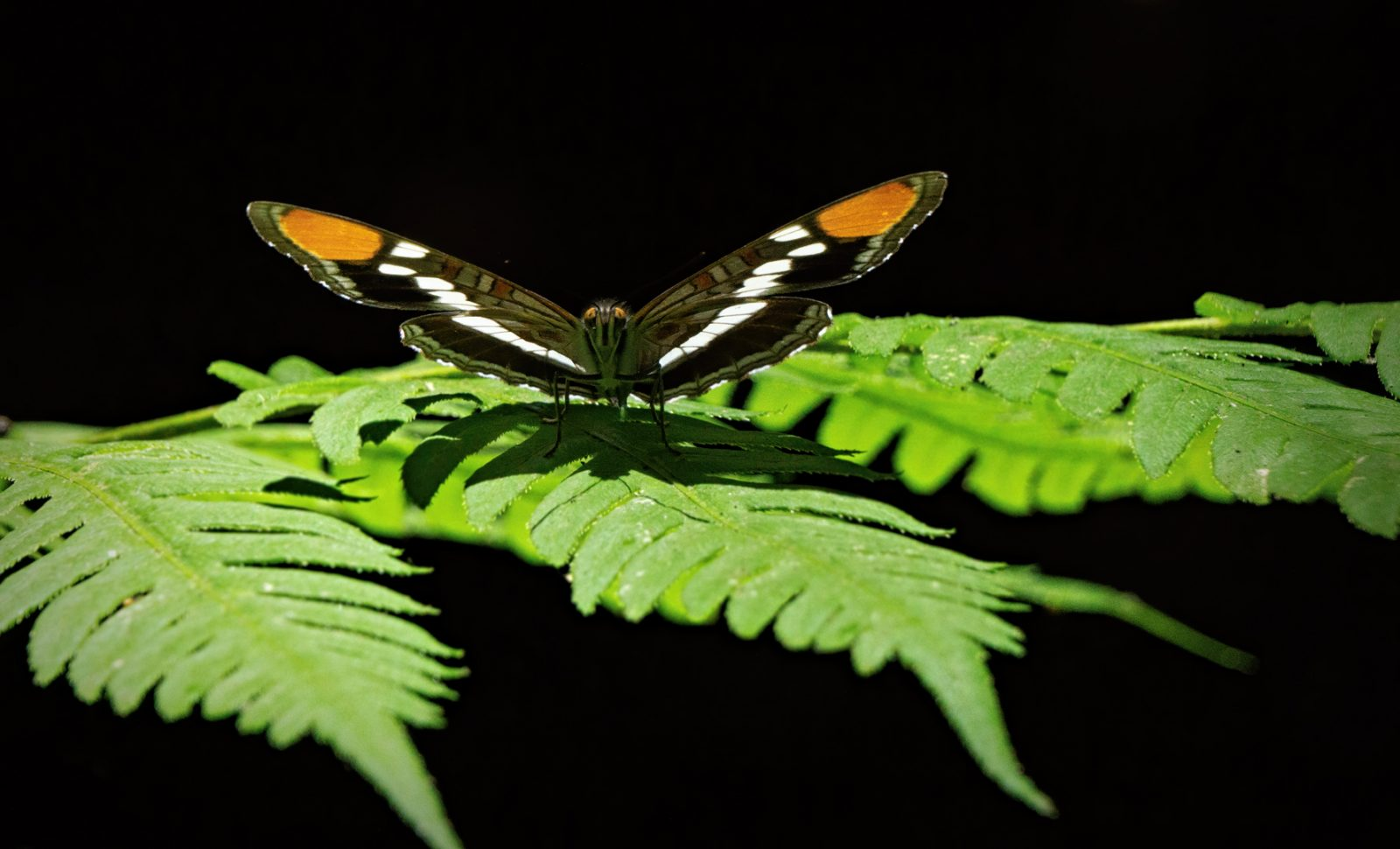 Butterfly warming up in the morning sunshine on a fern in Big Basin State Park