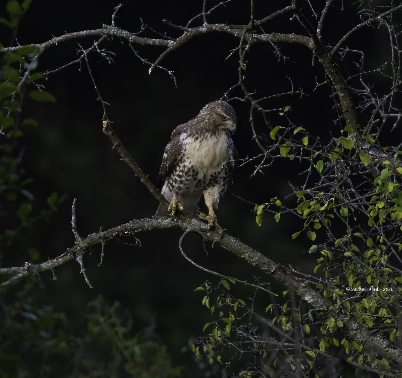 Red-tailed-Hawk-on-a-Branch