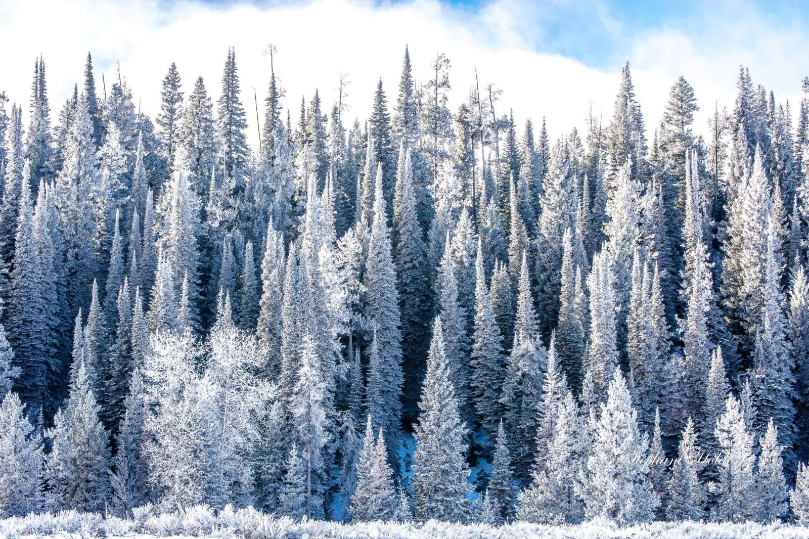 Snow and frost covered trees