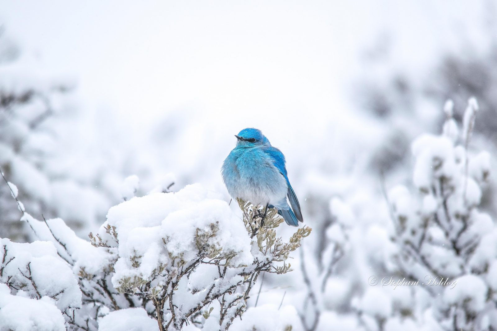 Mountain Bluebird perched on snow covered sage