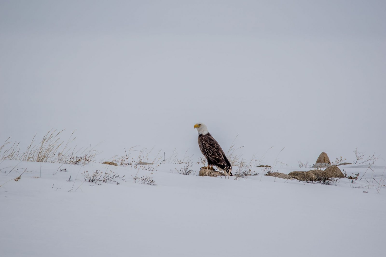Winterscape with American Bald Eagle on a rock