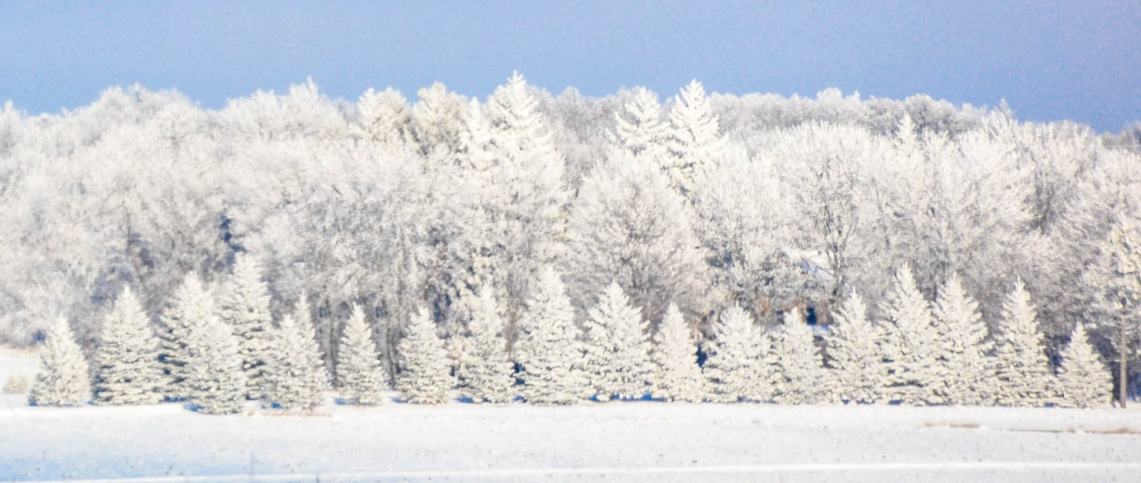 Trees in White