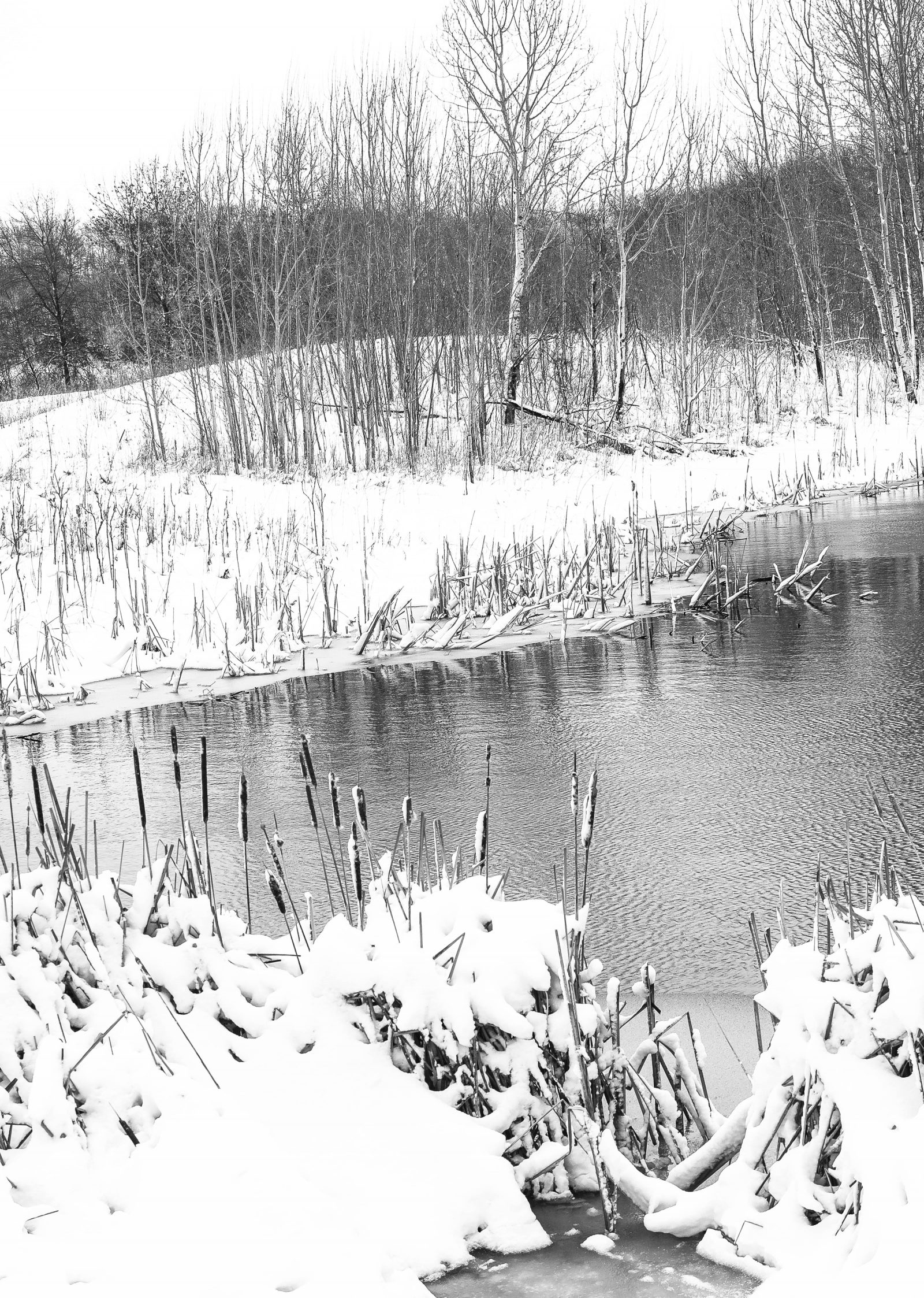 Snow Covered Cattails