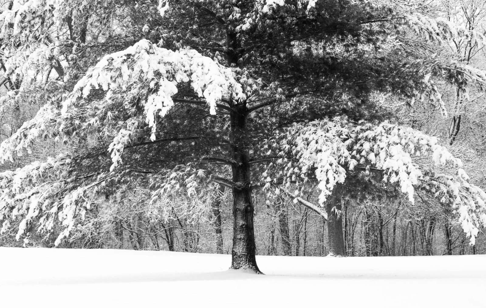 Evergreen with Snow