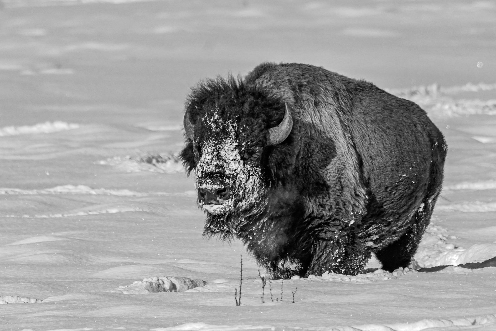 Lone Buffalo Yellowstone