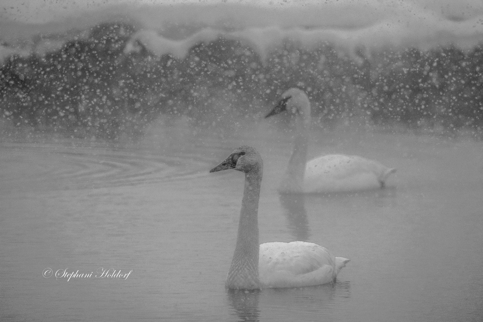 Swans in falling snow