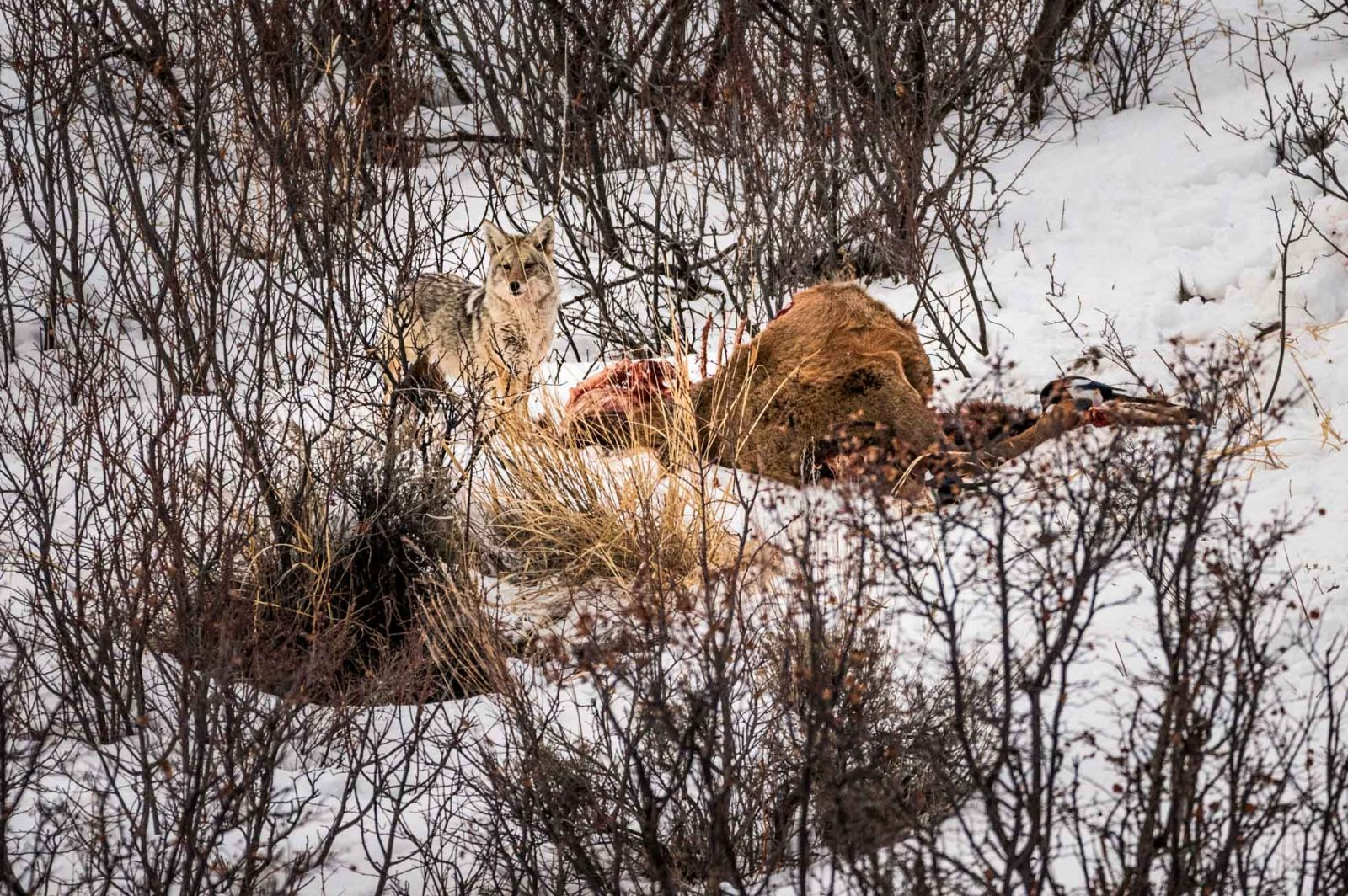 Coyote & Carcass