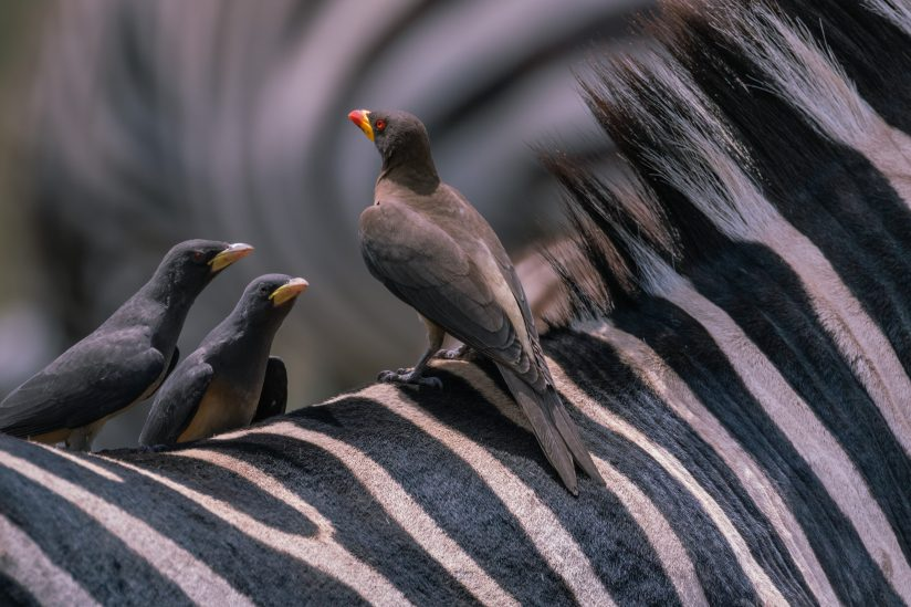 Yellow Billed Oxpecker Conference