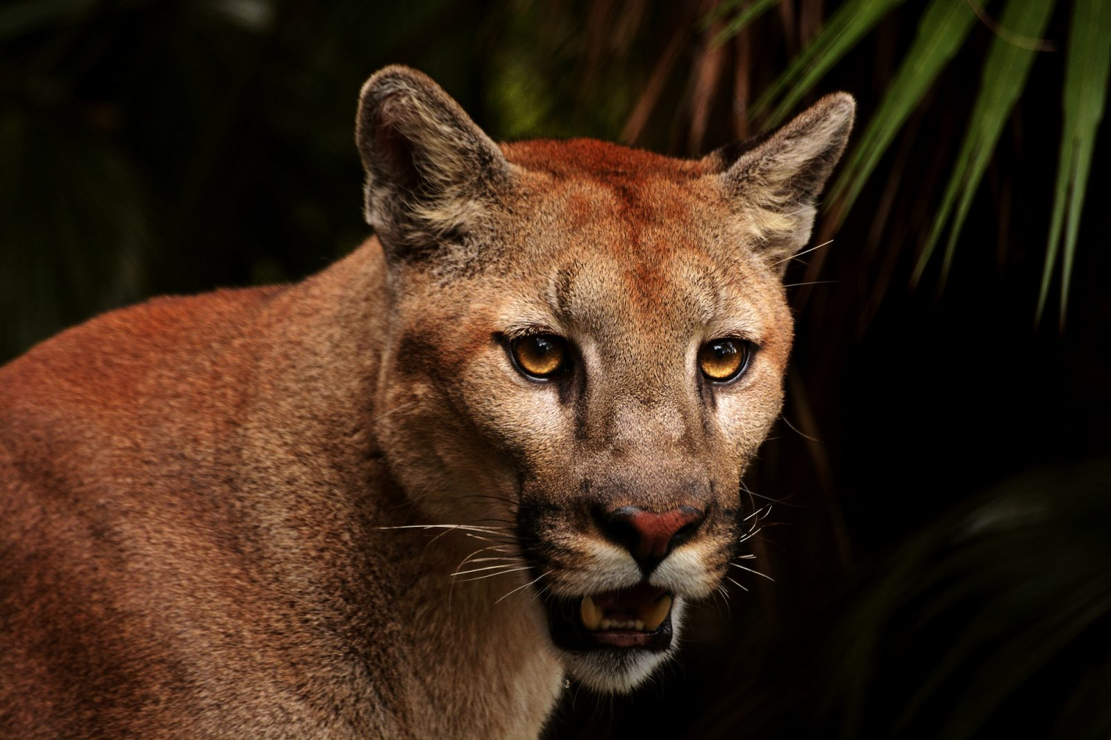 The Cougar