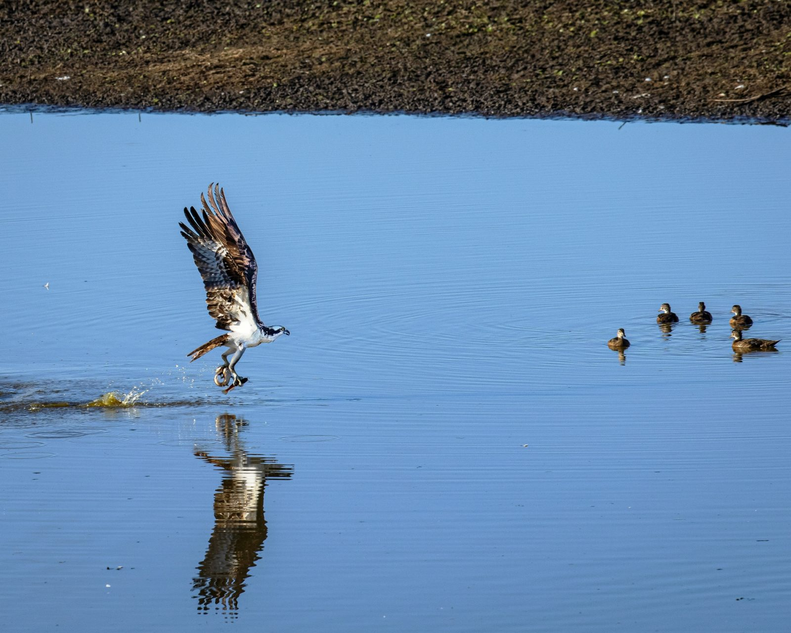 Osprey With Three Fish