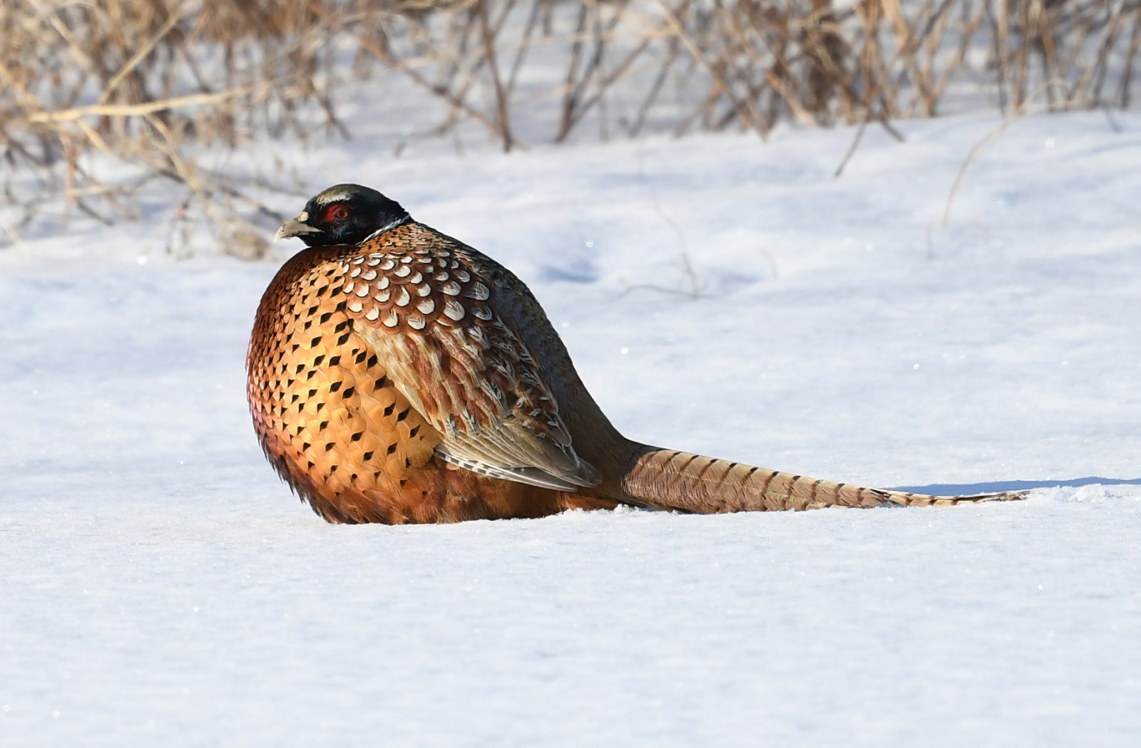Ringed Neck Pheasant in a Borb