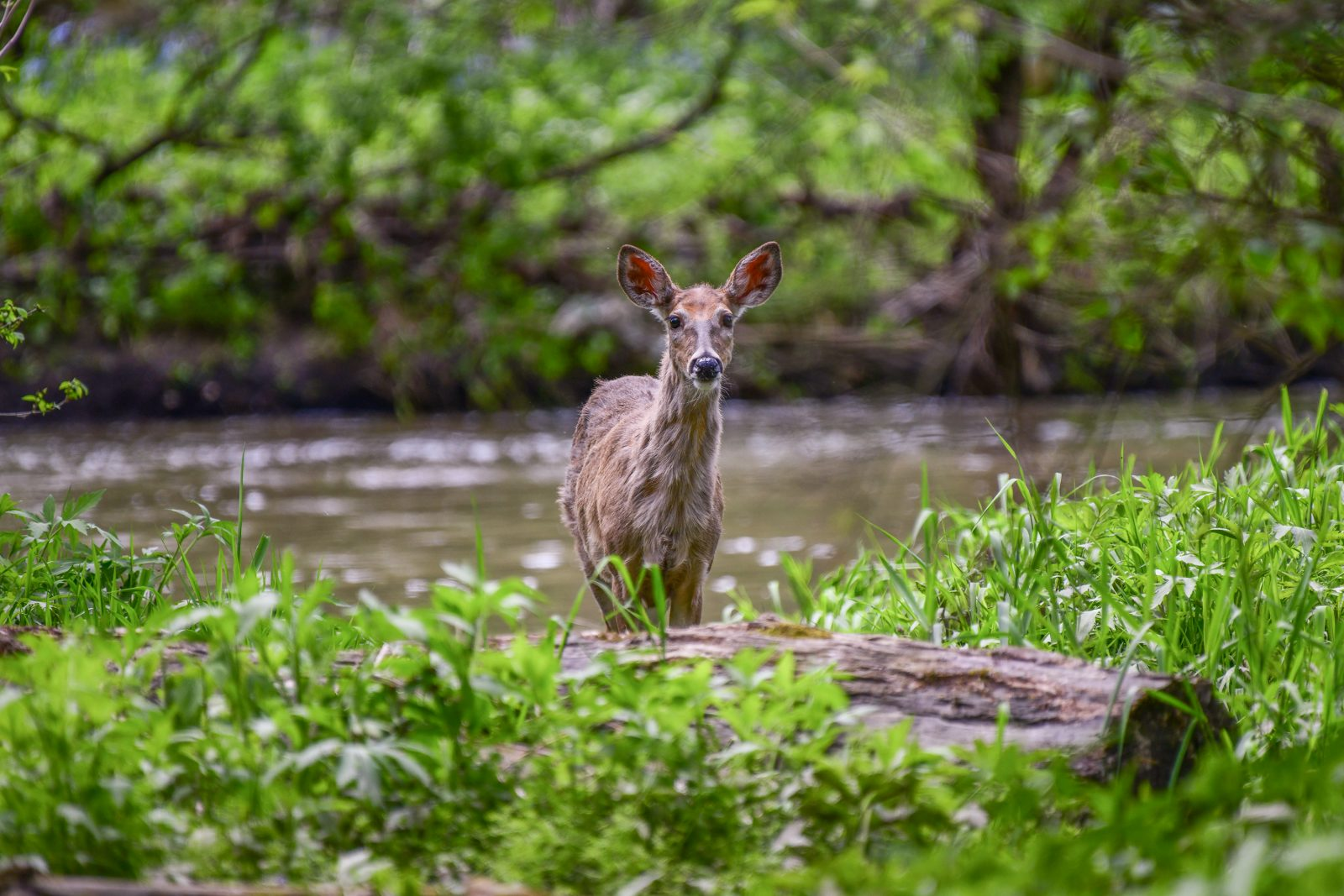 White-tailed Deer crossing the Creek