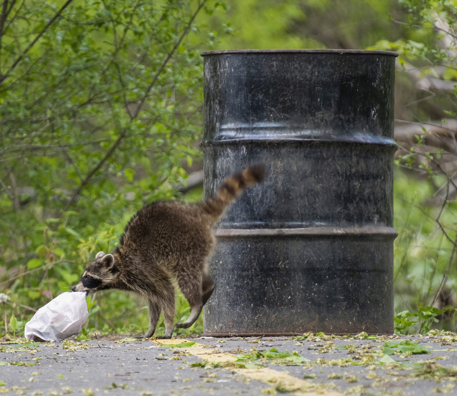 Racoon Grabbing a To Go Bag