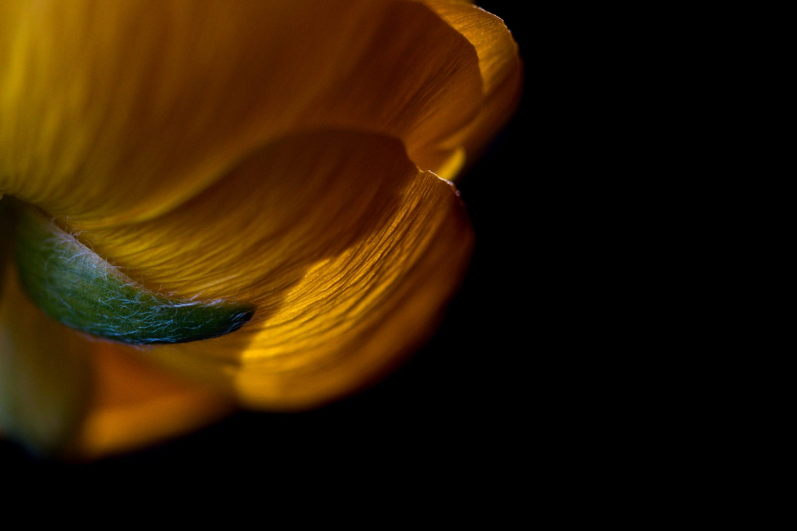 Light on Yellow Ranunculus