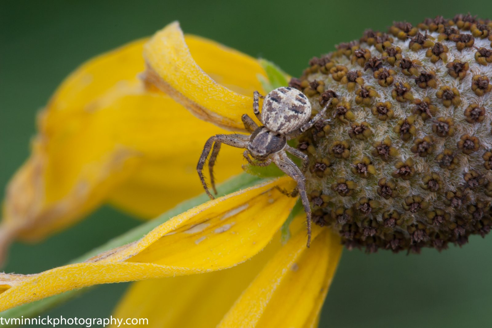 Spider and Coneflower