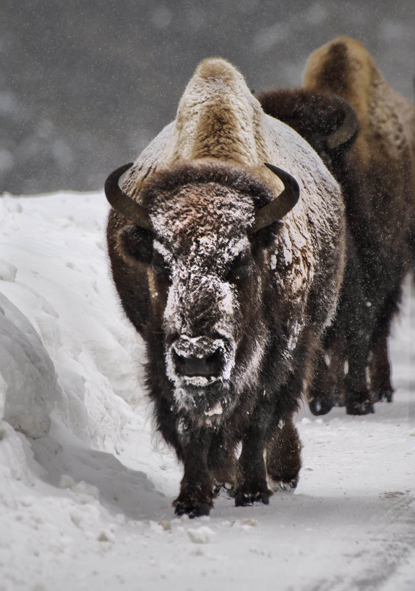 Snow Bound Bison