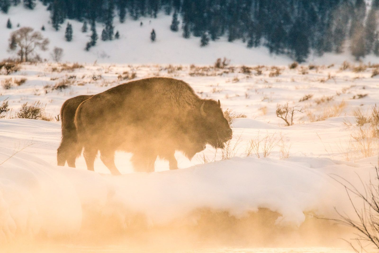 Bison in the Steam